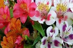 Alstroemeria-Inca-Lily