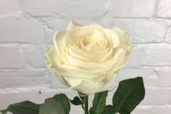 Avalanche-Rose-Cream