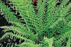 Dagger-Fern-Leaves